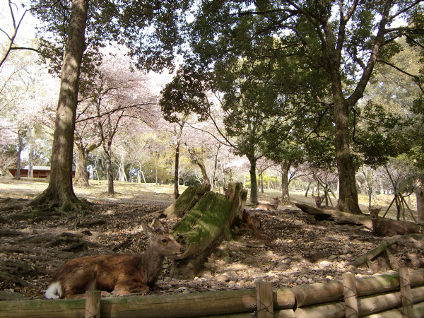 奈良公園で桜と鹿見物1-3