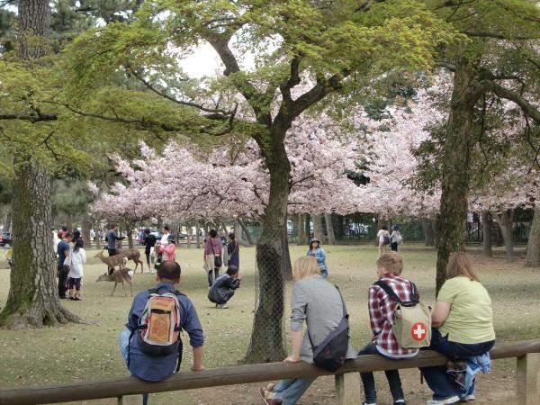 奈良公園で桜と鹿見物2-1