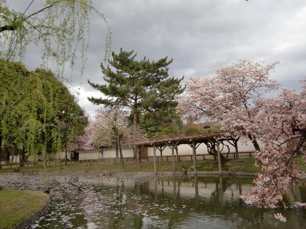 奈良公園で桜と鹿見物2-2