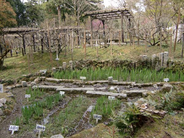 奈良公園で桜と鹿見物2-3