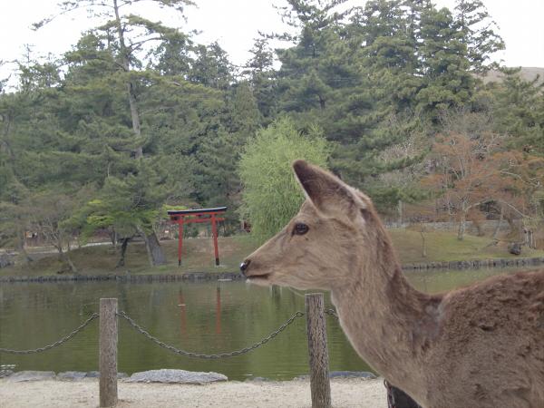 奈良公園で桜と鹿見物3-3