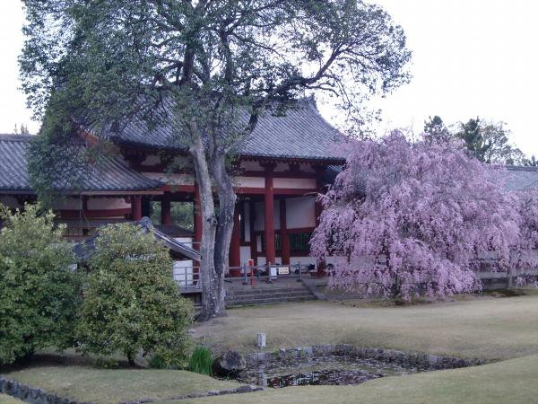 奈良公園で桜と鹿見物3-5