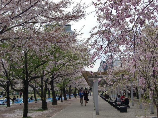 大阪城西の丸庭園の桜の写真1