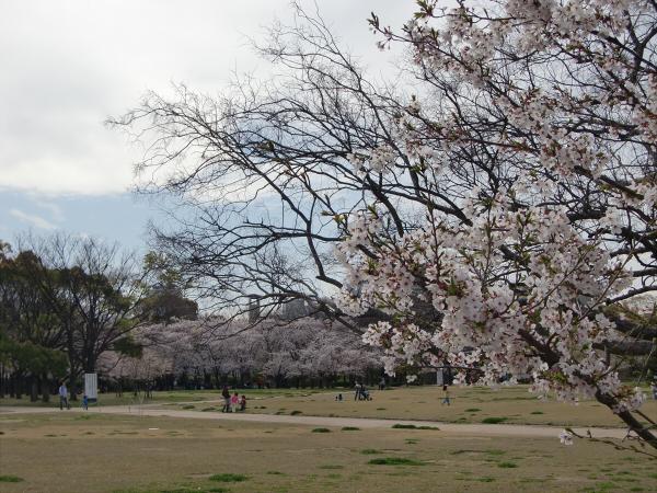 大阪城西の丸庭園の桜の写真4