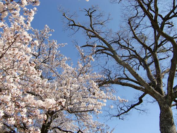 昨年春の桜のおまけ01