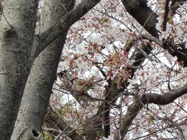 昨年春の桜のおまけ02