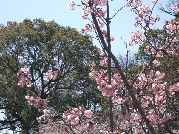 昨年春の桜のおまけ03