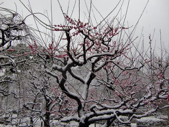 大阪城梅林の雪中梅01