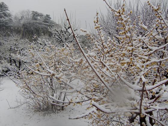 大阪城梅林の雪中梅02