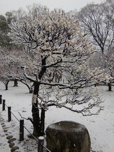 大阪城梅林の雪中梅04