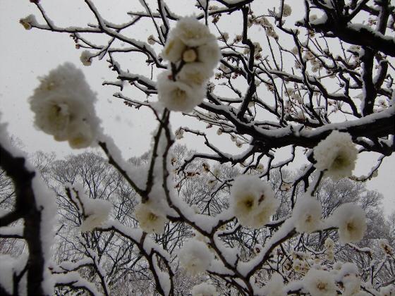 大阪城梅林の雪中梅05