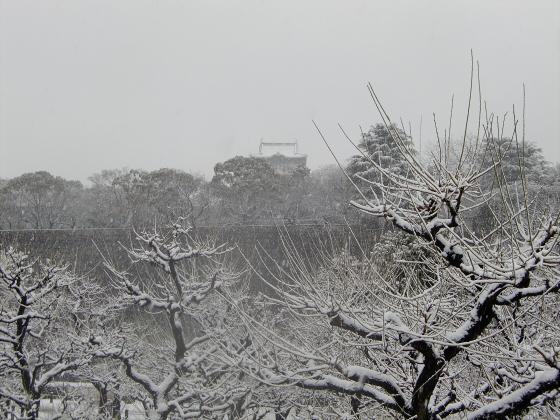 大阪城梅林の雪中梅06