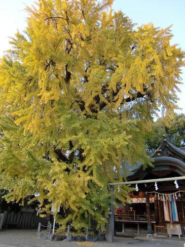 白山神社の大銀杏と祭り02