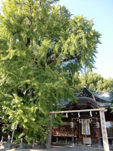 白山神社の大銀杏と祭り04
