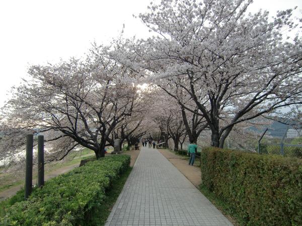 淀川河川公園背割堤地区の桜2