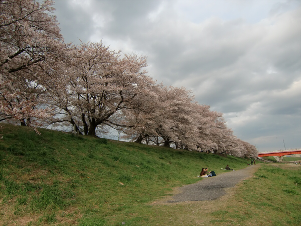 淀川河川公園背割堤地区の桜3