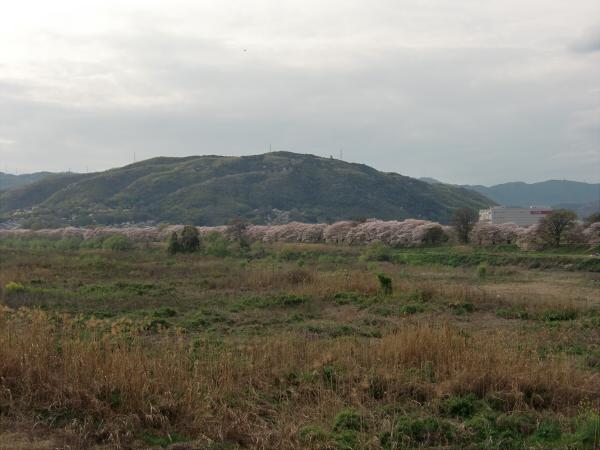 淀川河川公園背割堤地区の桜4