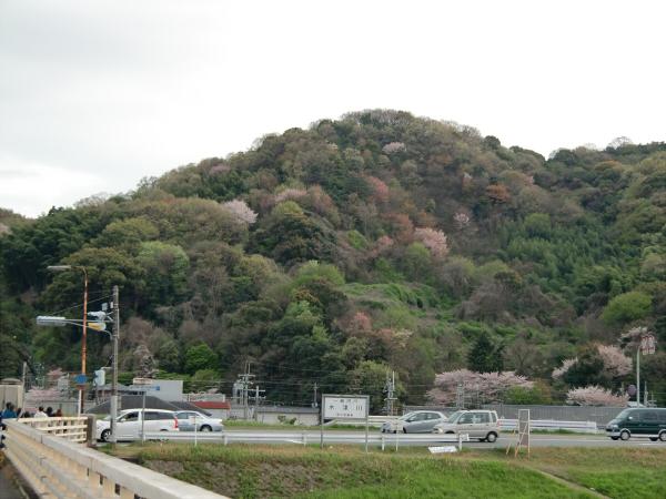 淀川河川公園背割堤地区の桜5