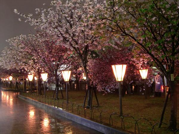 造幣局の夜桜写真1