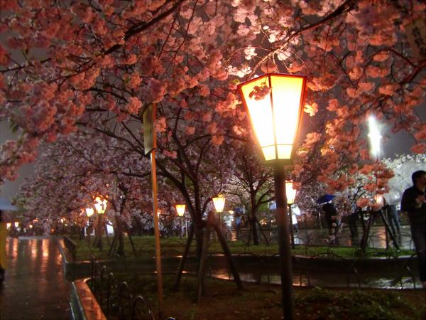 造幣局の夜桜写真2