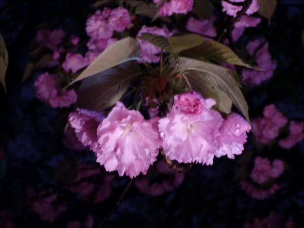 造幣局の夜桜写真3
