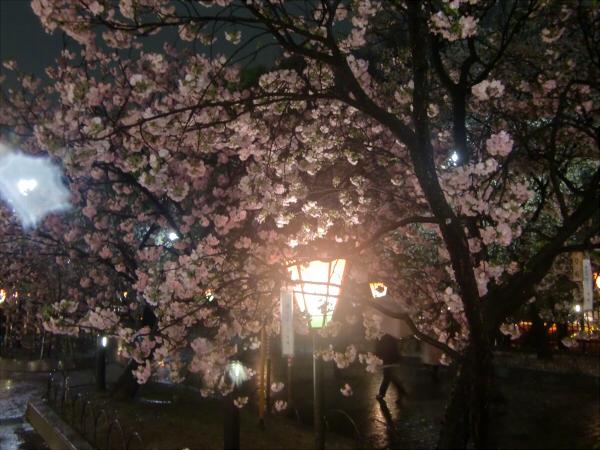 造幣局の夜桜写真4