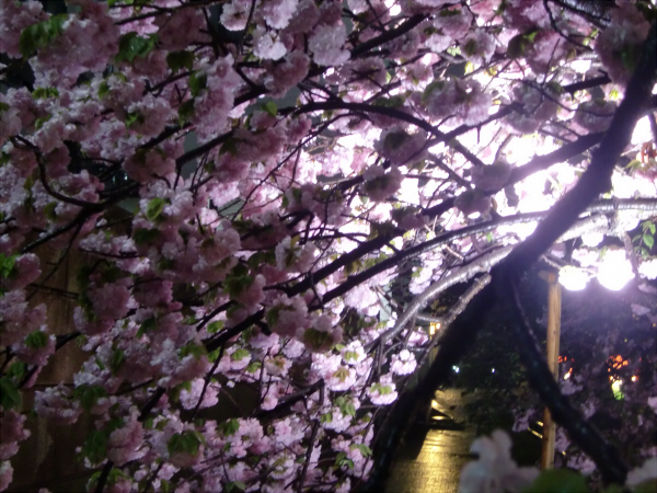 造幣局の夜桜写真5