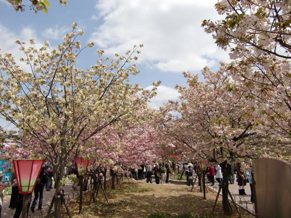 造幣局桜の通り抜けの写真1-1