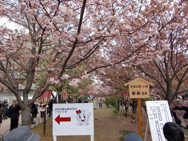 造幣局桜の通り抜けの写真1-2