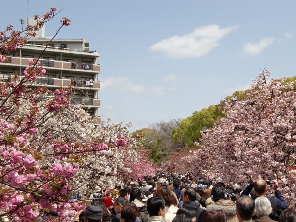 造幣局桜の通り抜けの写真1-3