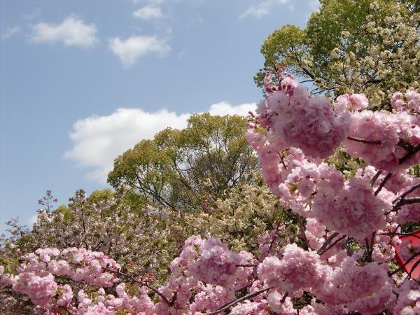 造幣局桜の通り抜けの写真1-4