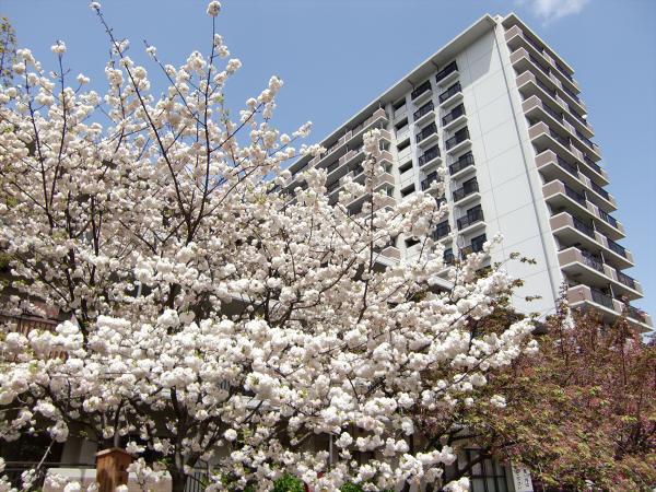 造幣局桜の通り抜けの写真1-5