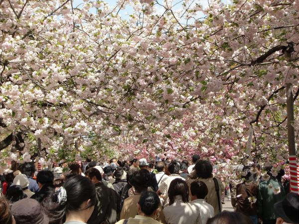 造幣局桜の通り抜けの写真2-1