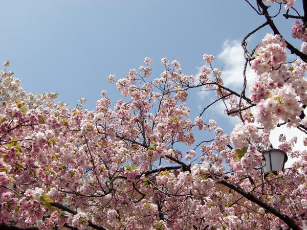造幣局桜の通り抜けの写真2-2
