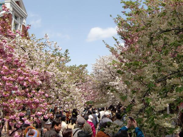 造幣局桜の通り抜けの写真2-3