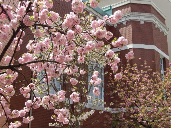 造幣局桜の通り抜けの写真2-4