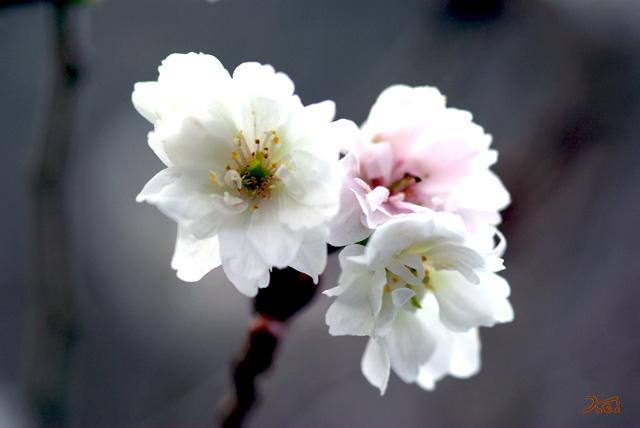 101128冬桜06