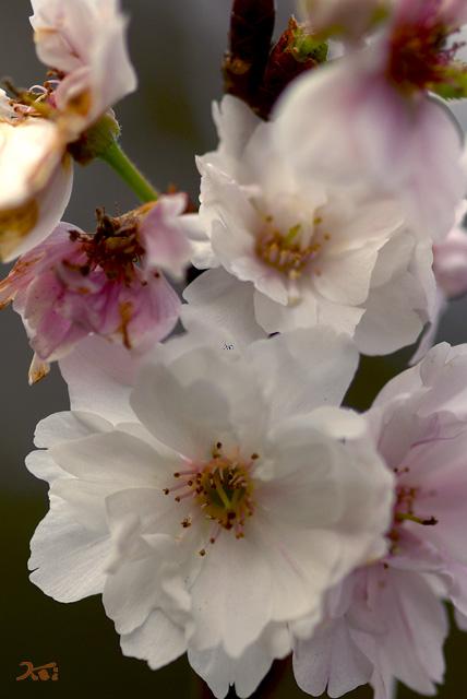 101128冬桜05