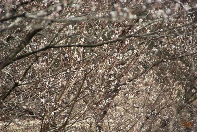 101128冬桜02