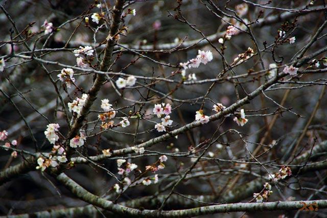 101128冬桜03