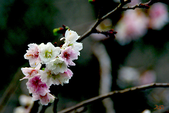 101128冬桜04