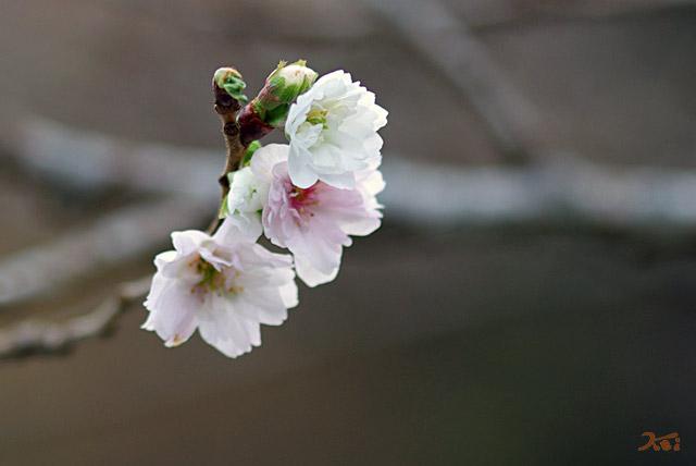 101128冬桜08