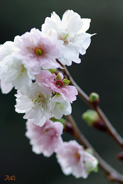 101128冬桜07