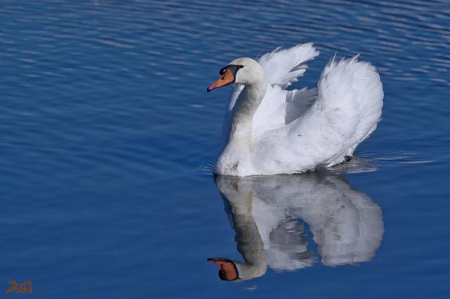 101226白鳥11