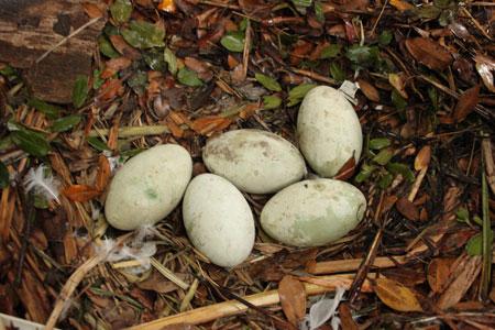 ハクチョウ卵2