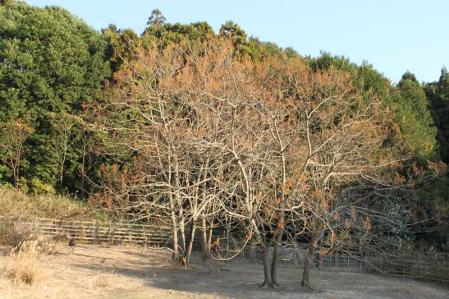 エミュー牧場内木2