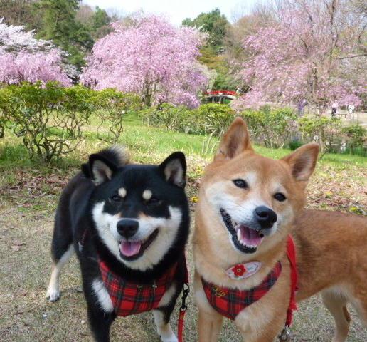 01 04 06  森林公園 桜