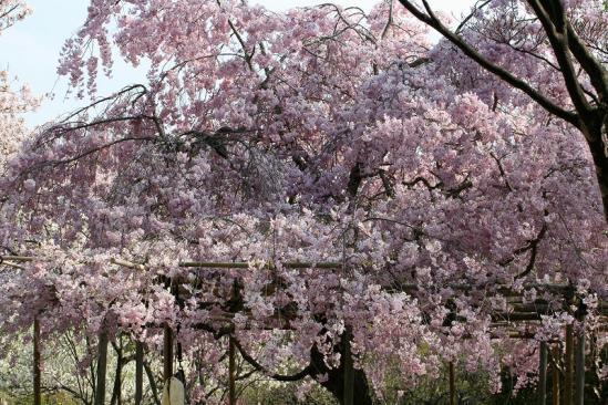 北山緑化植物園桜1