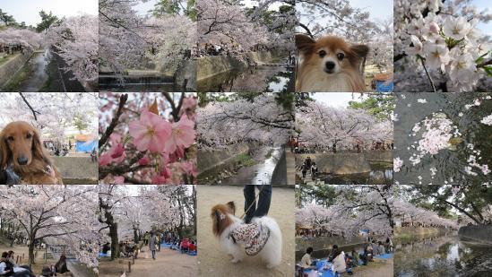 s-2011-04-11 夙川1