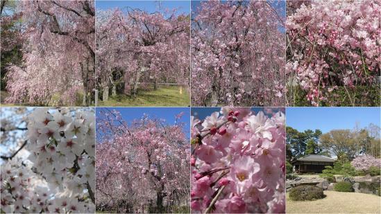 s-2011-04-13 二条城と京都御苑4